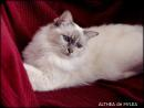 Althea, chatte de Myléa et gagnante de la plus belle photo