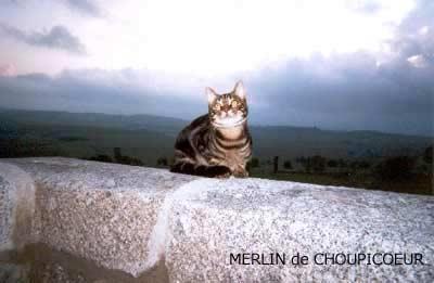 Merlin, le chat de Choupicoeur